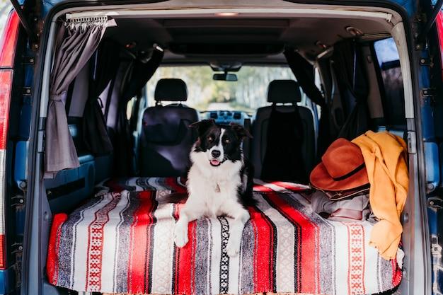 Cão bonito de border collie que relaxa em uma van. conceito de viagens