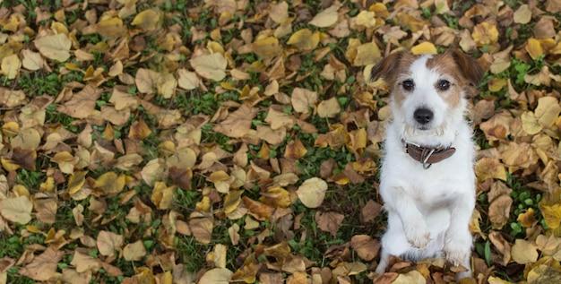 Cão bonito de jack russell que senta-se em dois pés que começam o alimento nas folhas de queda amarelas.