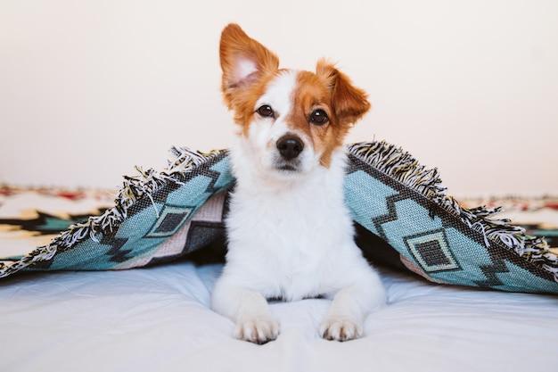 Cão bonito de russell do jaque coberto com a cobertura étnica que encontra-se na cama em casa. estilo de vida dentro de casa