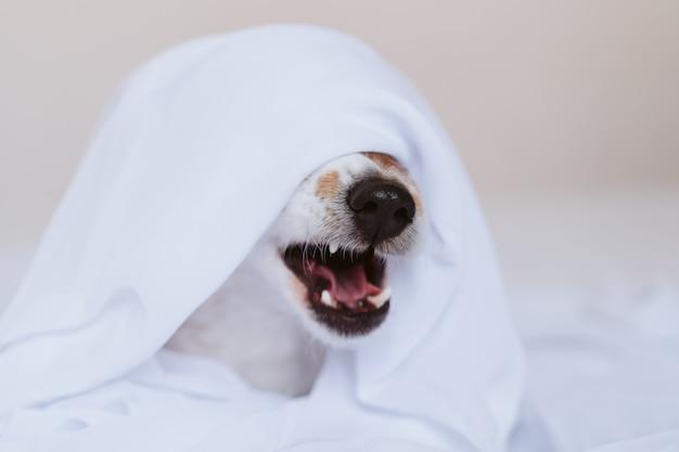 Cão bonito de russell do jaque que boceja em casa na cama coberta com uma folha branca. casa, interior e conceito de estilo de vida