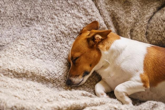 Cão bonito de russell do jaque que descansa ou que dorme sob um cobertor.
