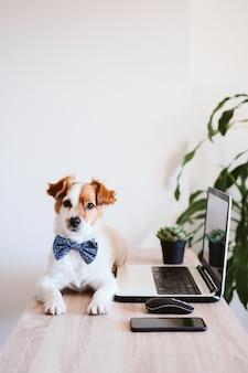 Cão bonito de russell do jaque que trabalha no portátil em casa. cão elegante usando uma gravata borboleta. fique em casa. tecnologia e conceito dentro de casa