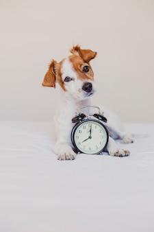 Cão bonito, deitado na cama com um despertador definido às 8 horas. manhã e acorde o conceito em casa.