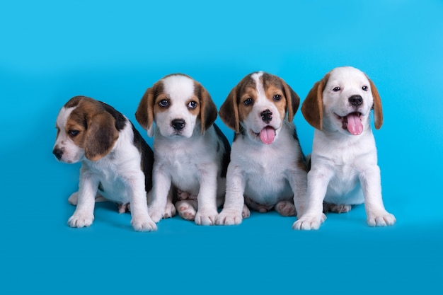 Cão, bonito do grupo de cachorro beagle sentado e ofegante