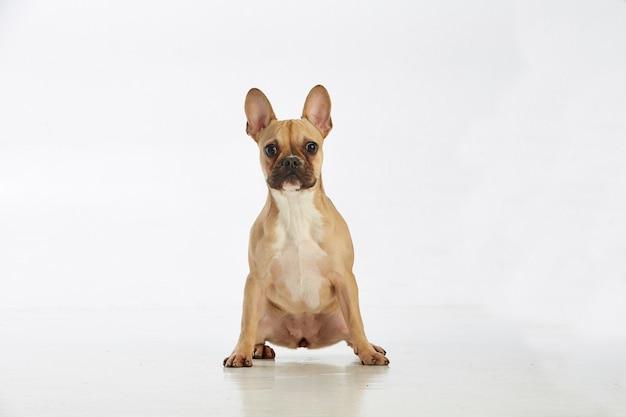 Cão bonito do terrier de boston do bebê