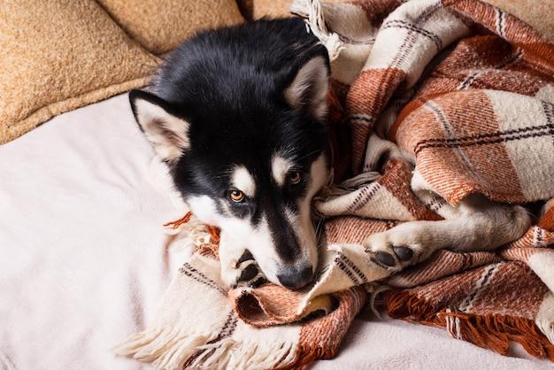 Cão bonito dormindo em uma cama sob uma manta