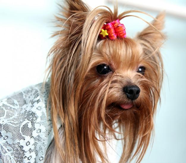 Cão bonito e fofo york terrier
