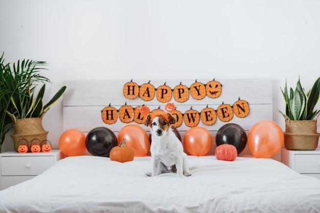 Cão bonito jack russell em casa. decoração de fundo de halloween no quarto