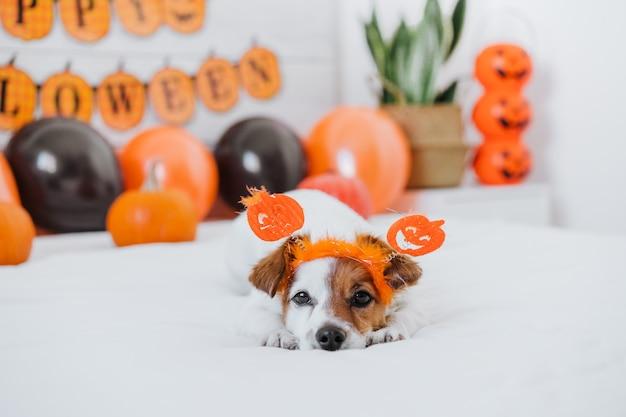 Cão bonito jack russell em casa. decoração de halloween no quarto com balões, guirlandas e abóboras