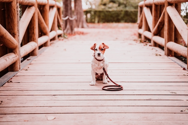 Cão bonito jack russell em um parque, sentado em uma ponte de madeira