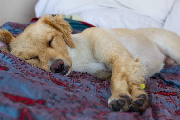 Cão bonito marrom golden retriever dormindo na cama com as pernas esticadas animal de estimação doméstico descansando pacificamente