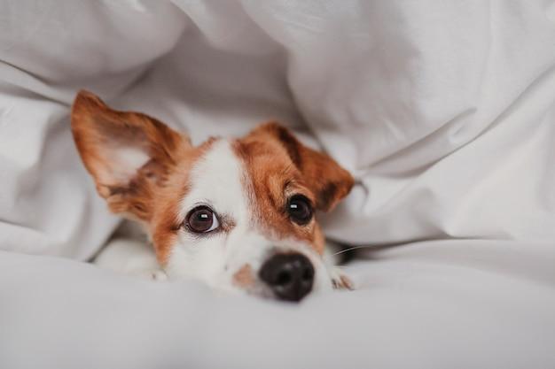 Cão bonito na cama em casa coberta com manta