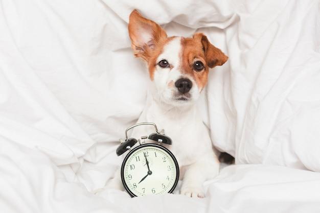 Cão bonito na cama em casa com despertador