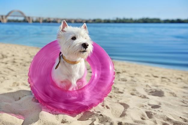 Cão bonito na praia com um anel de borracha como uma coleira