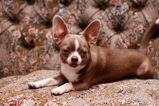 Cão bonito no sofá elegante no apartamento.