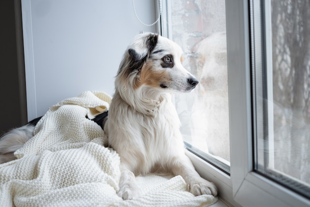 Cão bonito pastor australiano merle azul. esperando pelo dono