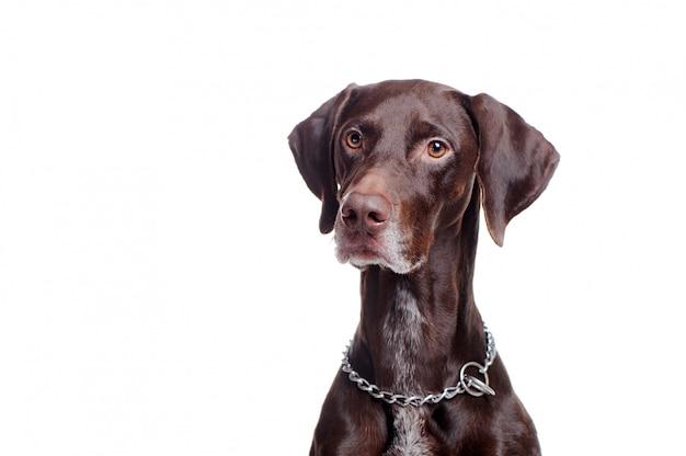 Cão bonito ponteiro, olhando para a área de cópia de espaço