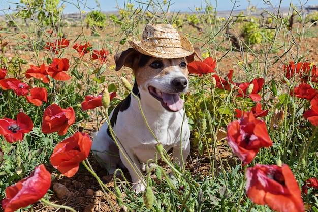 Cão bonito sentado em flores de papoula com chapéu de verão