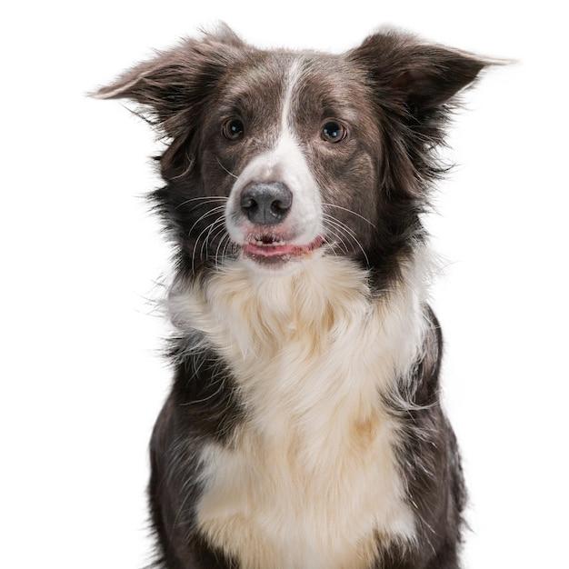 Cão border collie em uma superfície branca isolada