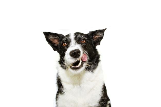 Cão border collie faminto lambendo o nariz com a língua. isolado no fundo branco.