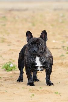 Cão bouledogue francês.