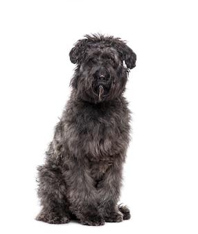 Cão bouvier des flandres sentado