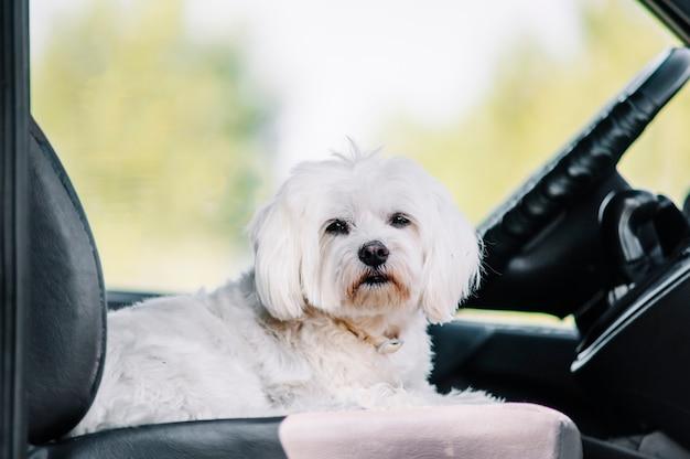 Cão branco bichon maltes
