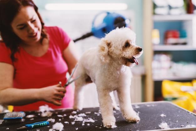 Cão branco bonito no salão. apreciando enquanto o cabeleireiro escova o pêlo.