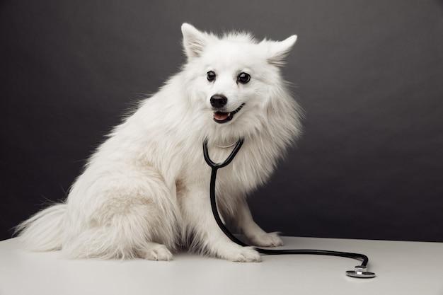 Cão branco com estetoscópio na mesa na clínica veterinária no conceito de cuidados para animais de estimação de fundo cinza