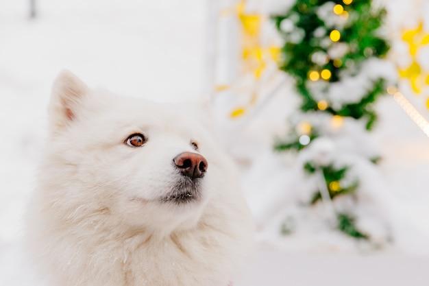 Cão branco da pedigree que senta-se na neve em uma floresta. animais engraçados