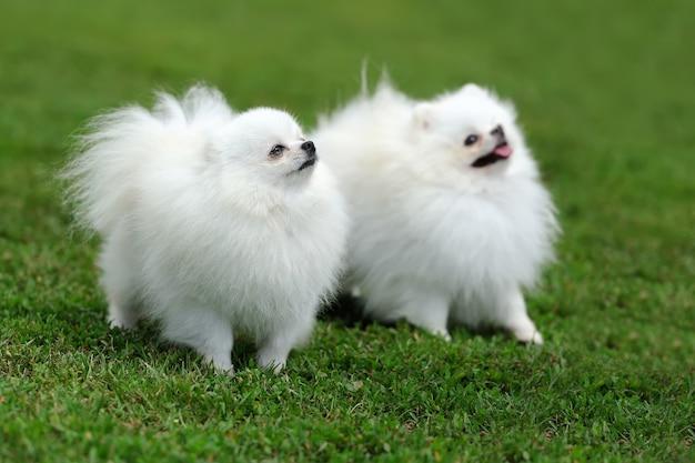 Cão branco da pomerânia perto da grama verde do verão