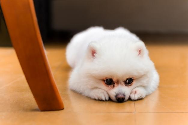 Cão branco de pomeranian que encontra-se no assoalho que olha triste.