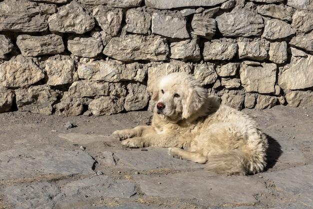 Cão branco encontra-se perto de um muro de pedra