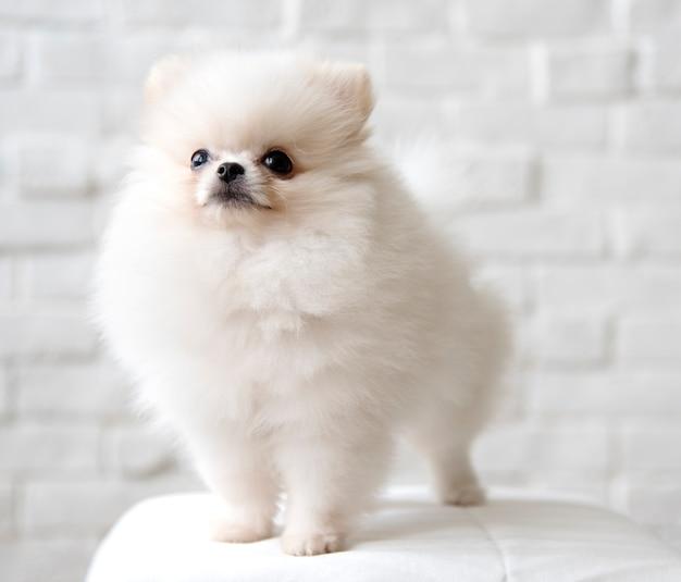Cão branco fofo da pomerânia numa cadeira