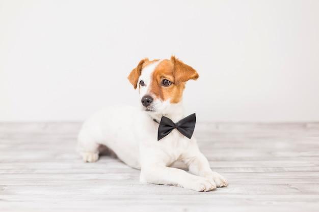 Cão branco pequeno bonito jovem vestindo uma gravata borboleta preta