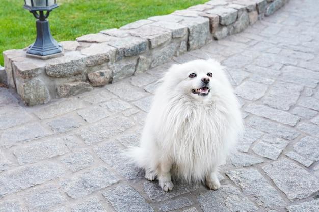 Cão branco spitz na natureza verde