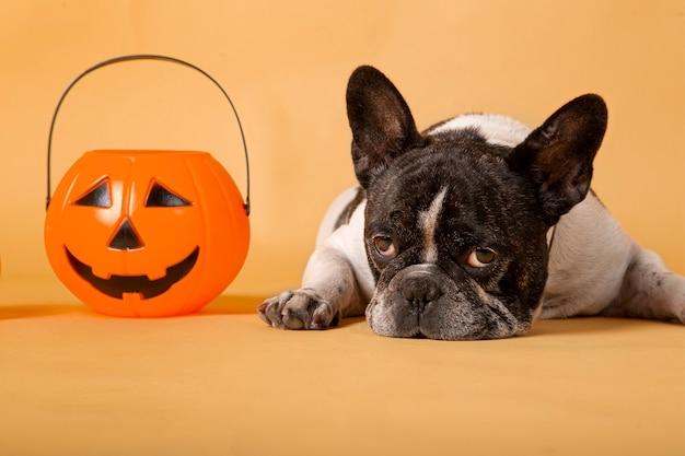 Cão bulldog francês com abóbora de halloween studio atirou em fundo amarelo.