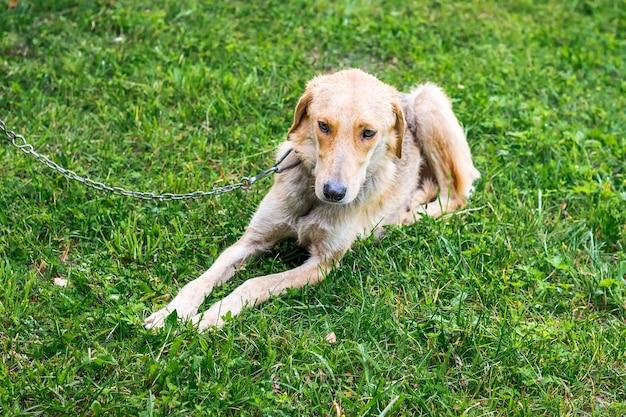 Cão caçador da raça galgo em uma corrente deitado na grama enquanto caminha