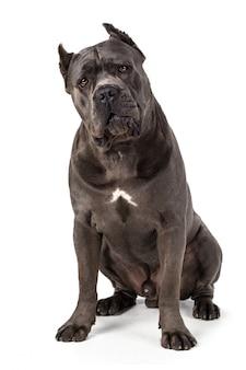Cão cane corso na superfície branca