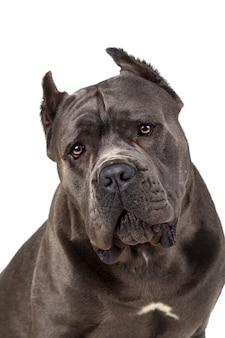 Cão cane corso