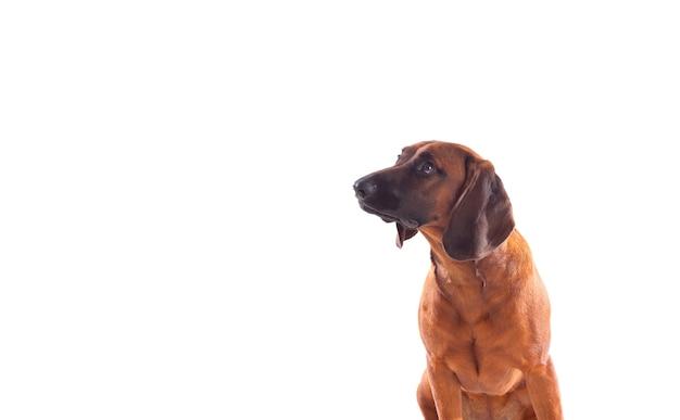Cão castanho da baviera