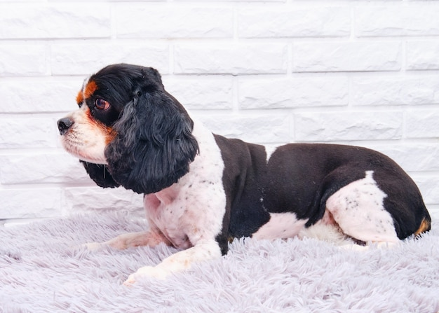 Cão cavalier king charles spaniel após procedimentos de preparação