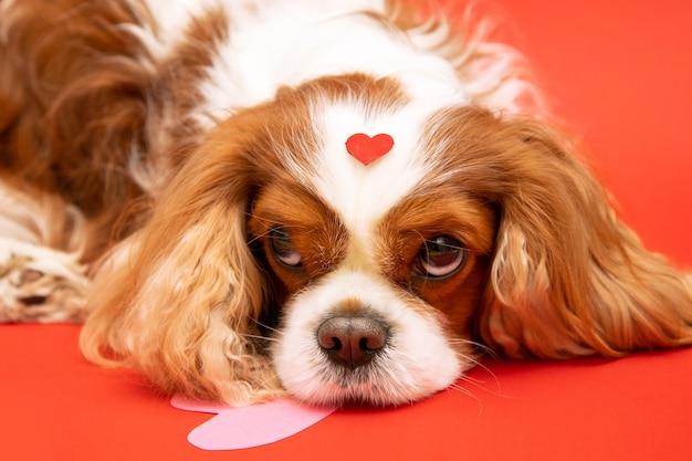 Cão cavalier king charles spaniel com coração na cabeça