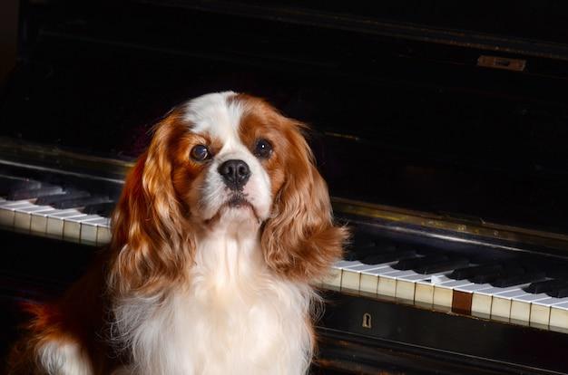 Cão cavalier king no piano.