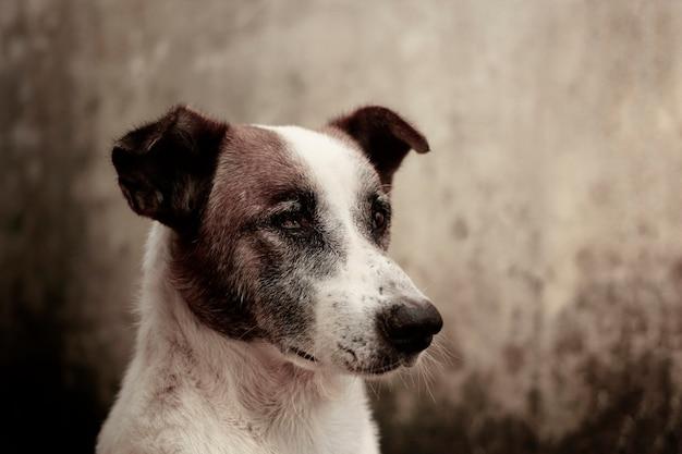 Cão cego unilateral sentado sem expressão.