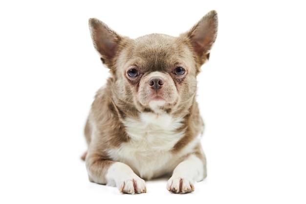 Cão chihuahua adulto, isolado. cachorrinho fofo em branco