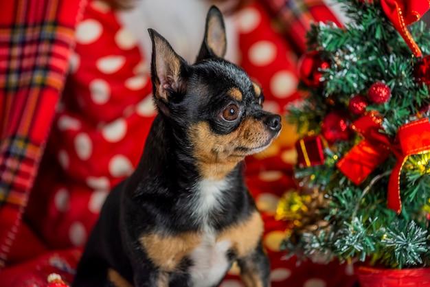 Cão chihuahua. chihuahua e natal. cão adorável de natal chihuahua
