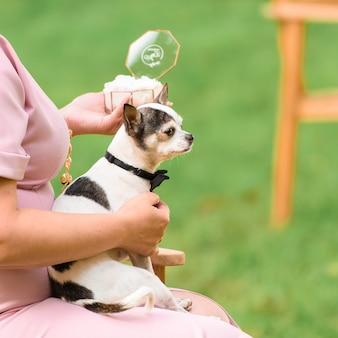 Cão chihuahua com anéis de casamento na cerimônia. cachorro engraçado nas mãos.