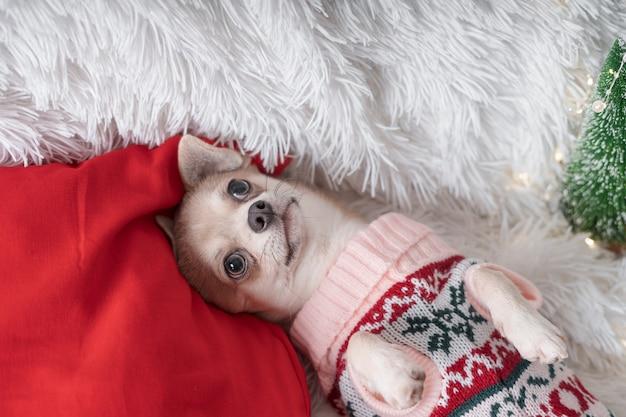 Cão chihuahua de natal com suéter deitado sobre um cobertor