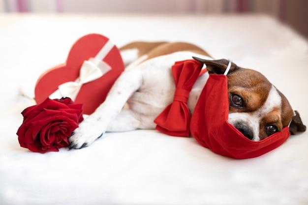 Cão chihuahua engraçado com gravata-borboleta de máscara protetora com rosa vermelha e fita branca em caixa de presente com coração